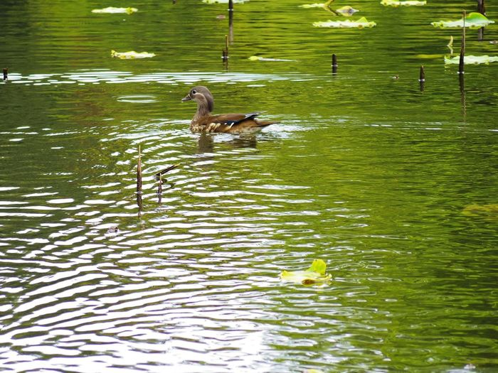 Duck In The Lake Mandarin Duck Green Color Duck One Animal Swimming Animal Swimming Duck Bird Water Swimming Lake