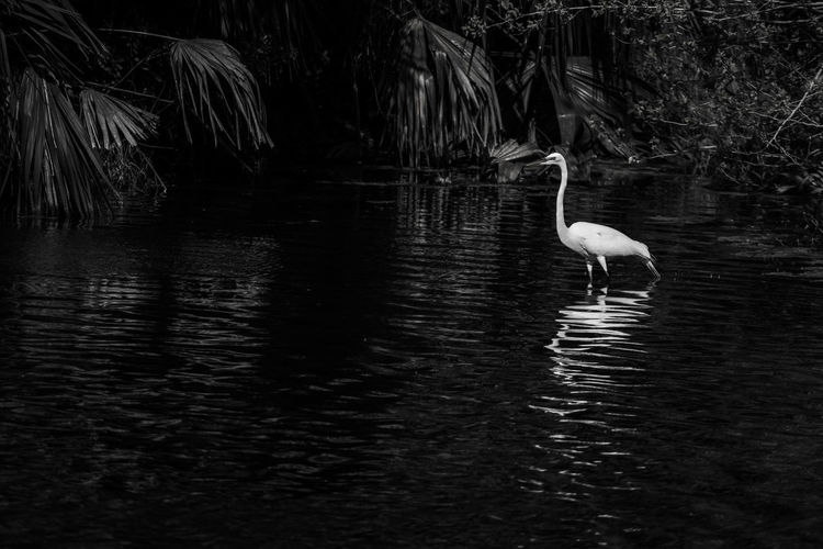 Water Vertebrate Animal Themes Animal Bird Animals In The Wild Animal Wildlife Lake One Animal Waterfront Nature No People Day Water Bird Wild Animal Egret White Egret Reflection Beauty In Nature Rippled Outdoors Plant Black And White Photography