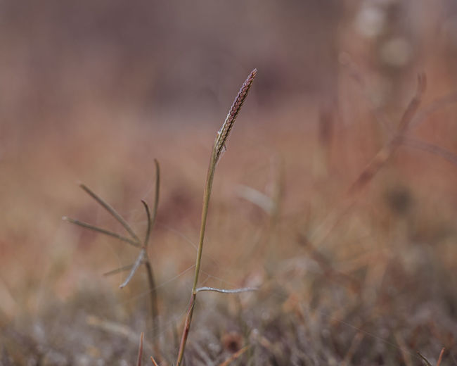 Close-up of dry plant on field