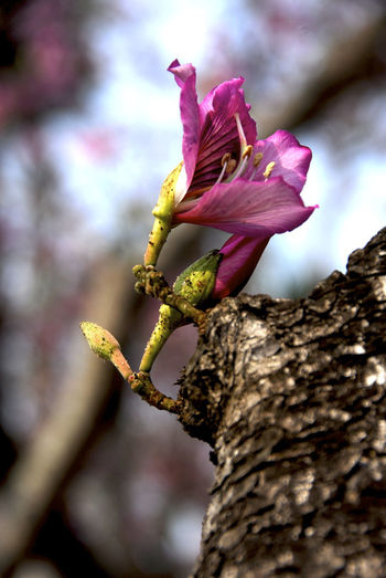 Beauty In Nature Close-up Day Flower Flower Head Focus On Foreground Fragility Freshness Growth Nature No People Outdoors Petal Tree Bauhinia Blakeana 羊蹄甲 洋紫荊 紫荊