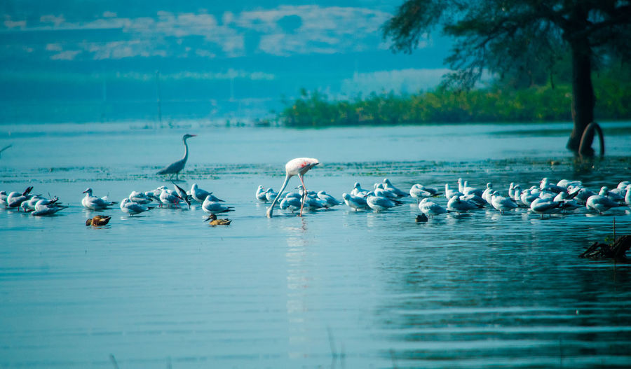 Flock of birds in lake, flamingo