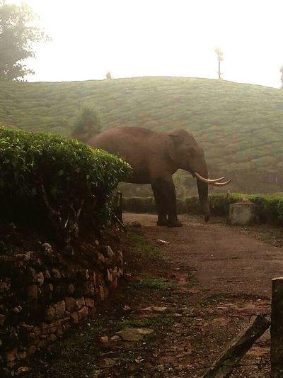 Wild elephant Elephant Animal Animal Wildlife Indian Elephant Nature No People Tree Landscape First Eyeem Photo