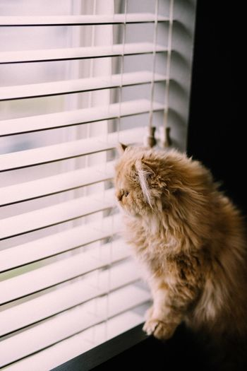 Side view of persian cat looking through window