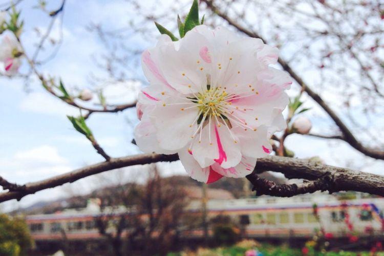 梅・桃…どっちだ⁉️ Plum Blossom Peach Blossom … Whichiswhich ⁉️😂
