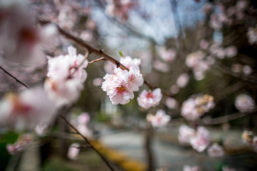 Beauty In Nature Blossom Branch Cherry Blossom Cherry Tree Day Flower Flower Head Flowering Plant Fragility Freshness Growth Nature No People Outdoors Petal Pink Color Plant Plum Blossom Pollen Springtime Tree Vulnerability