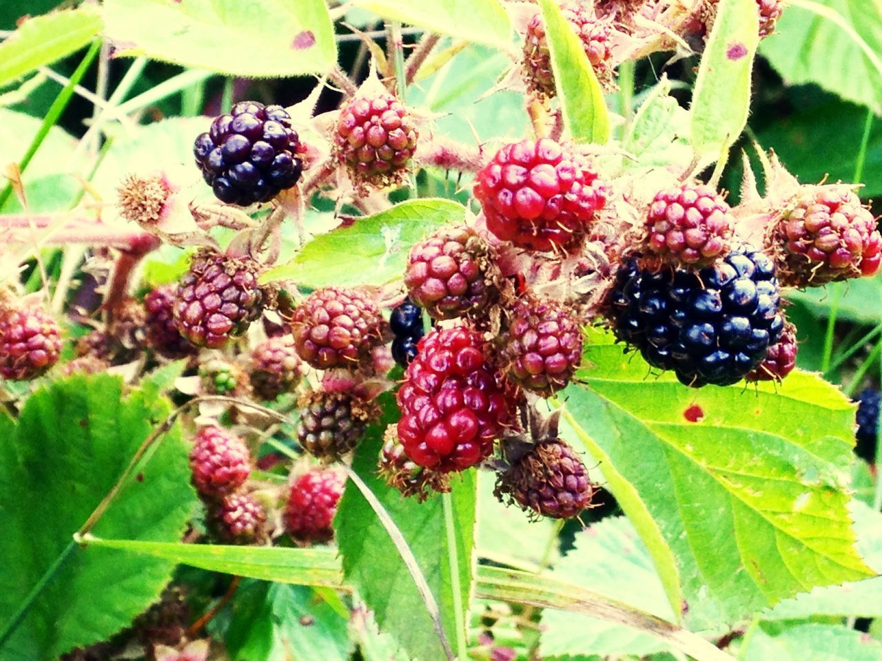 fruit, food and drink, berry fruit, blackberry, food, growth, freshness, leaf, nature, healthy eating, plant, close-up, no people, green color, day, outdoors, focus on foreground, beauty in nature, tree