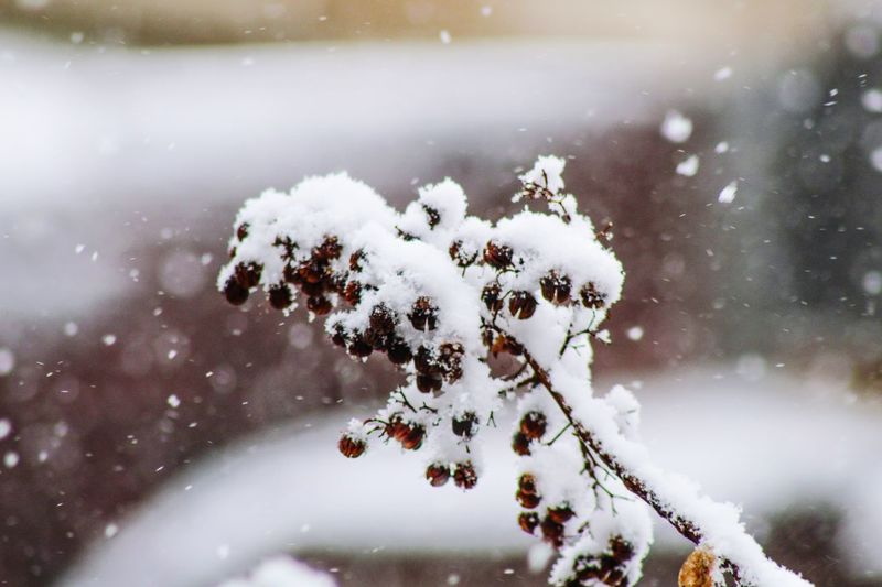 Close-up of snow covered branch during winter