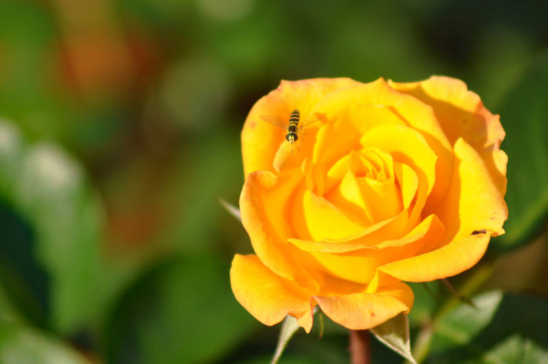 yellow-legged clearwing Close-up Fragility Nature New Life Rose🌹 Selective Focus Springtime Wasp Yellow Rose🌹 Yellow-legged Clearwing