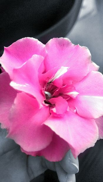 Eyem Best Shots Taking Photos Flowers,Plants & Garden Rose🌹 Flowers Pictureoftheday Flowerlovers Flowerporn Pink Flower Nature_collection