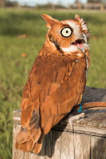 Screeching owl Animal Themes Animal Wildlife Animals In The Wild Bird Bird Of Prey Close-up Day Domestic Animals Focus On Foreground Macaw Mammal Nature No People One Animal Outdoors Perching Portrait