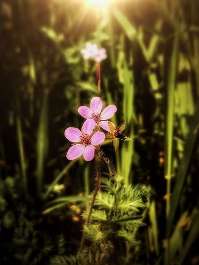 iPhone 7 Plus,Enlight,Snapseed Plant Flower Flowering Plant Growth Freshness Beauty In Nature Vulnerability  Nature No People Day Flower Head Outdoors Pink Color Focus On Foreground