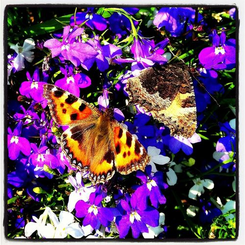 Butterflies in the Sunshine IPhone IPhoneography Flowers