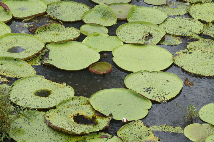 High angle view of lotus leaves floating on pond