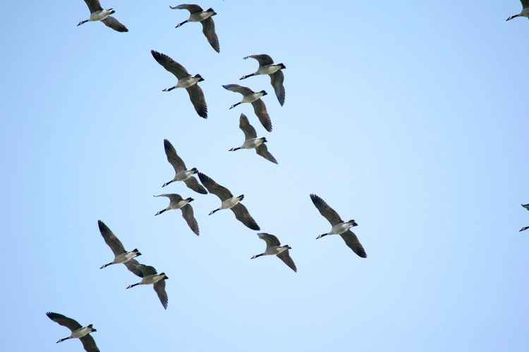 Low Angle View Of Geese Flying Against Clear Sky