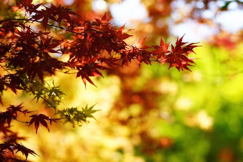 Capture The Moment Shine Bright Autumn Leaf Nature Change Beauty In Nature Multi Colored Maple Leaf Maple Tree Focus On Foreground Bokehlicious Backgrounds Fine Art Photography Scenics Outdoors Fragility Depth Of Field Getting Inspired Full Frame Detail Sony A7RII Sigma EyeEm Best Shots 17_10 EyeEmNewHere