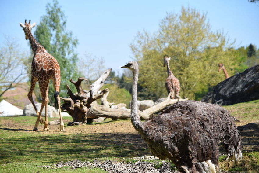 ostrich Animal Themes Animal Wildlife Animals In The Wild Bird Clear Sky Day Focus On Foreground Giraffe Grass Landscape Livestock Llama Mammal Nature No People Ostrich Outdoors Safari Animals Sky Standing Tree
