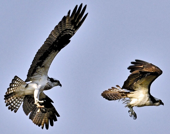 Animal Themes Animal Wildlife Animals In The Wild Beauty In Nature Bird Bird Of Prey Clear Sky Flying Low Angle View Nature No People Ospreys Outdoors Spread Wings