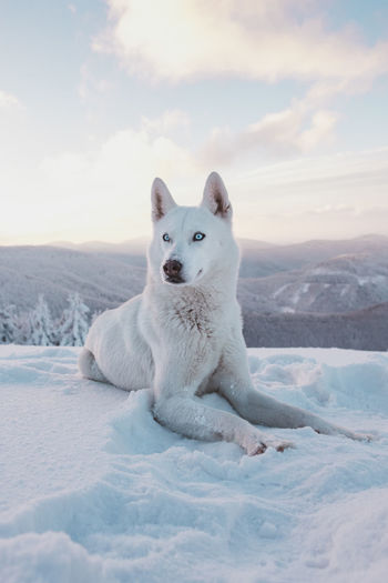 Mammal One Animal White Color Animal Snow Animal Themes Cold Temperature Domestic Animals Pets Domestic Sky Vertebrate Winter Dog Canine Nature Relaxation Portrait Day No People