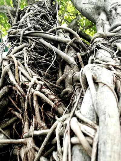 The nature that still capture my heart. Root Tree Growth Tangled Botany Nature Spreading Twisted Outdoors Day Complexity Huaweiphotography Huaweishot Huawei Mate8 Nature Urban Life Urban Nature Tranquility Life Is Beautiful Taking Photos Appreciating Nature Plain & Simple Randomshot Plant Surviving