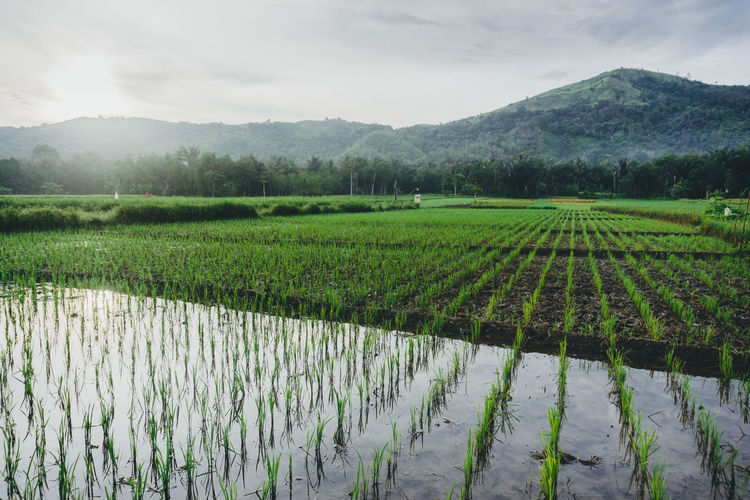 Scenic View Of Agricultural Field From Indonesia