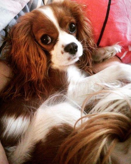 My beauty Cute Pets Cavalier King Charles Spaniel Cavlife Dog Ilovemydog Bestfriend Burgunde