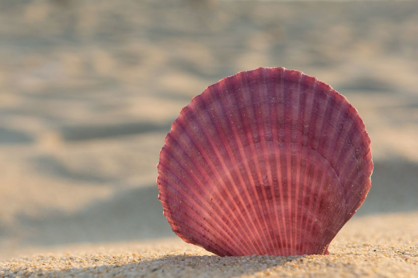 Purple sea shell on a sandy beach Freshness Natural Seashore Summertime Tranquility Travel Vacations Backgrounds Beach Beauty In Nature Close-up Coast Island Nature Purple Resort Sand Scallop Sea Seashell Shell Simplicity Spa Summer Tropical