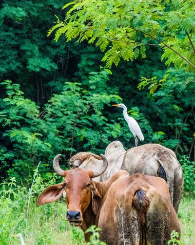 Hitching A Ride Thailand_allshots Nature_collection Cows!!! Bird Photography Animal_collection Piggyback