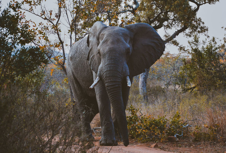 while I've was at a safari in south africa I've met a lot of wild animal, but the one who left the most impact on me was surely the elephant. the feeling of being so close to this gigantic creature just cant be put to word. a truley amazing expirience. Animals Elephant Mammal Nature Outdoors Safari South Africa Wild Wildlife Wildlife & Nature
