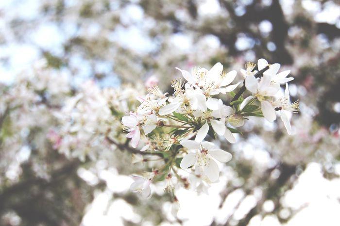 Spring in Davis Ca Ucdavis Davisca Flower Blossom Nature Apple Blossom Springtime Freshness Close-up