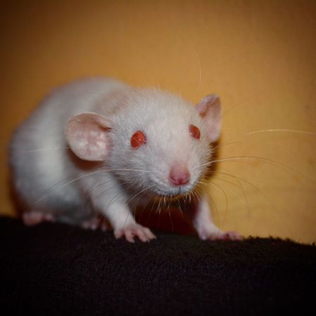 One Animal Rodent Animal Animal Themes Animal Wildlife Close-up Pets Indoors  Mammal No People Domestic Animals Day Professional Professionalphotography Nikon Nature Tenerife Rat Whiterat Dumbo Rat Rata Ratablanca Ratadumbo
