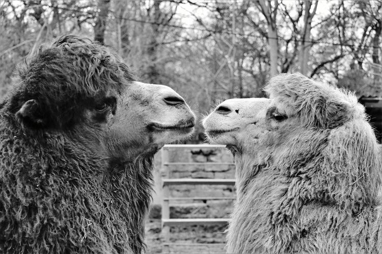Love Camel Dromedary Love Kiss Friend Friendly Monochrome Blackandwhite Black And White Black & White Farm Countryside Freedom Wildlife Lifestyles Togetherness Close-up Two Animals Captive Animals My Best Photo #NotYourCliche Love Letter