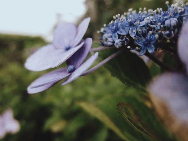 Japan Photography Shizuoka-shi Flower Hydrangea