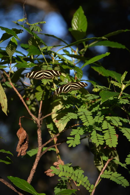 Pair of Zebra Longwing butterflies (Heliconius charithonia), the Florida's official state butterfly Butterflies Butterfly Florida Nature Florida Wildlife Zebra Longwing Butterfly Zebra Longwing Heliconius Charitonius Nature Tree No People Branch Social Issues Beauty In Nature Outdoors Freshness Day