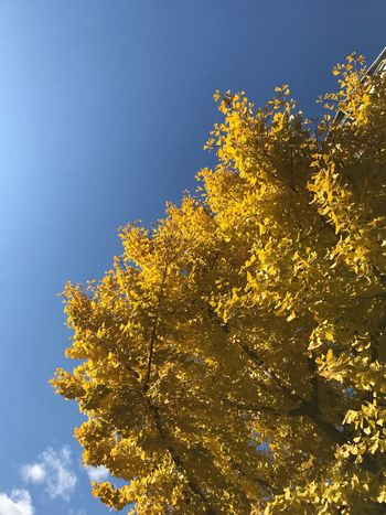 Low Angle View Growth Yellow Tree Nature No People Flower Day Beauty In Nature Sky Outdoors Blue Clear Sky Branch Freshness Fragility Close-up