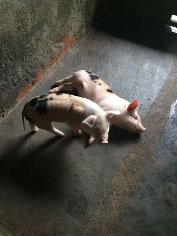Piglets EyEmNewHere Farmanimals Farm Life Animal Themes Endearing Playing Cute Baby Pigs Babies Pig Piglet Piglets Farm Animals Farm Animal Themes Animal Mammal Domestic Pets Vertebrate Domestic Animals Relaxation High Angle View Sunlight No People Lying Down Day Resting Sleeping Nature EyeEmNewHere