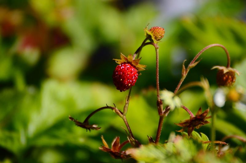 Smultron Wild Strawberry WoodLand Forest Wild Berries Plant Red Close-up Fruit Berry Fruit Healthy Eating Food And Drink Beauty In Nature Freshness Food Growth Focus On Foreground Nature Day No People Plant Part Leaf Outdoors Selective Focus Green Color