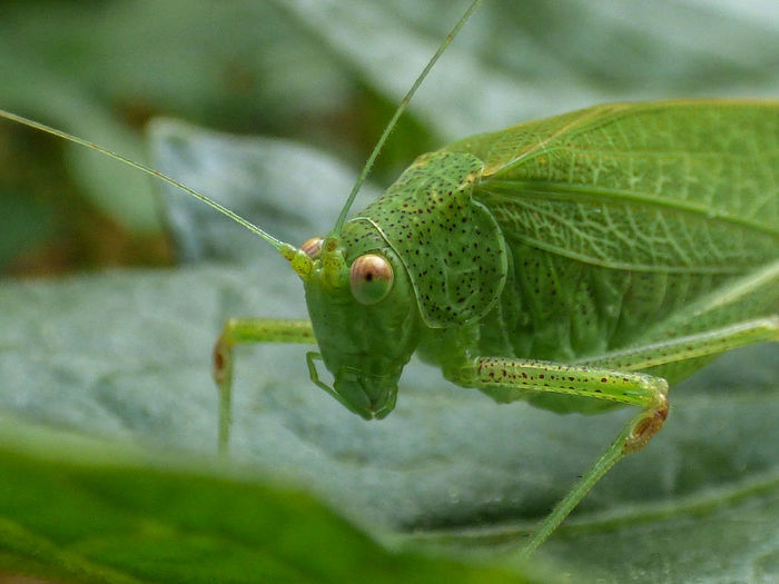 Animal Antenna Animal Behavior Animal Themes Animals In The Wild Bug Close-up Crawling Day Focus On Foreground Green Green Color Insect Nature No People One Animal Outdoors Selective Focus Vibrant Color Wildlife Zoology