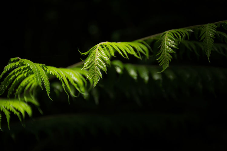 Close up of green new zealand silver fern leaves against a dark background
