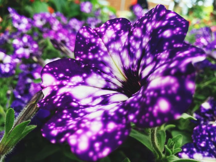 Universe Spectacle HDR Flower Purple Beauty In Nature Fragility Plant Flower Head IPhone SE Best Shots Nature
