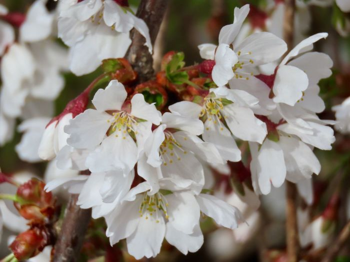 Flowers of spring flowering tree white petals close up outdoors beauty in nature Plant Flower Growth Freshness No People