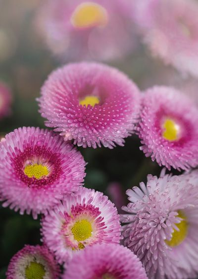 Aster flowers in front of Osaka Castle Macro Photography Flower Flowering Plant Plant Fragility Vulnerability  Freshness Pink Color Flower Head Purple Beauty In Nature