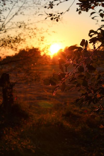 Autumn 🍂 Sunset Autumn Autumn colors Fall Sunbeam Sunset Silhouettes Sunset_collection Golden Sunset Tranquility EyeEm Nature Lover Beauty In Nature Sunset Sky Orange Color Sun Sunlight Plant Nature Tree No People Cloud - Sky Focus On Foreground Scenics - Nature Tranquil Scene Silhouette