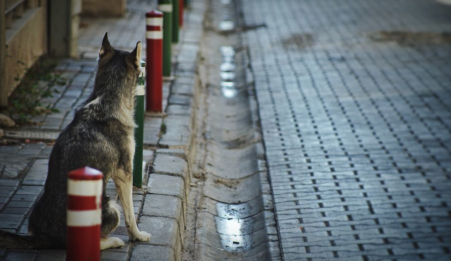 Urban wolf Wolf Dog Animal Themes Mammal One Animal Domestic Animals Pets No People Sitting Day Outdoors The Art Of Street Photography My Best Photo City Paving Stone Sitting Focus On Foreground High Angle View Footpath Street