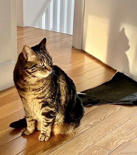 Cat sitting on hardwood floor