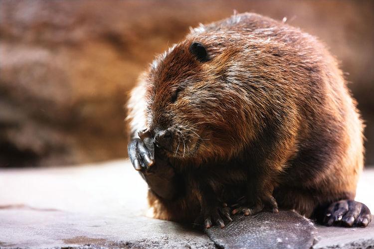 Close-up of a beaver