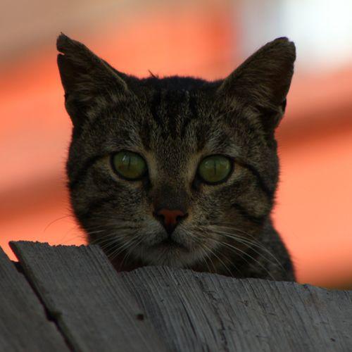 Close-up portrait of cat against orange wall