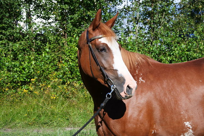 Animal Head  Animal Themes Brown Day Domestic Animals Herbivorous Horse Horse Photography  Nature No People Outdoors