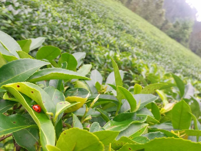 Leaf Nature Plant Green Color Freshness Focus On Foreground No People Agriculture Outdoors Day Tea Plantation  Ladybug Nature's Lap ZenfoneZoom Dof NoEdits  Nature Ladybug🐞 Beetle EyeEmNewHere