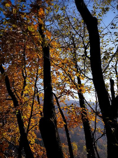 Tree Forest Nature Branch Growth Outdoors Day Tree Trunk Beauty In Nature Sky Leaf Beauty In Nature Mountains Hiking Tree Trunk Landscape Autumn Autumn Colors Autumn Leaves Orange Yellow Fagus Sylvatica