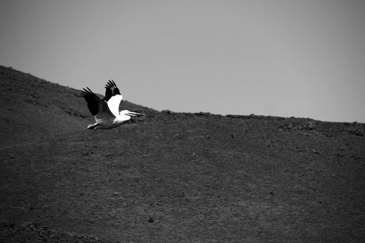 Low angle view of pelican flying against mountain